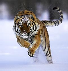 siberische tijgers verdubbeld