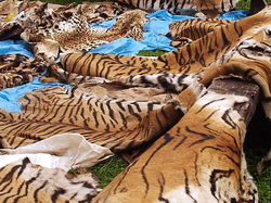 Y Tigers Are Endangered poached Siberian tigers